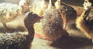 جوجه شترمرغ سه ماهه یزد