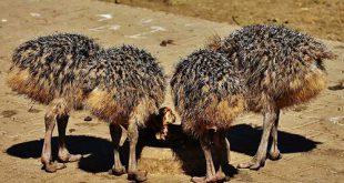 جوجه شترمرغ یک روزه اصفهان